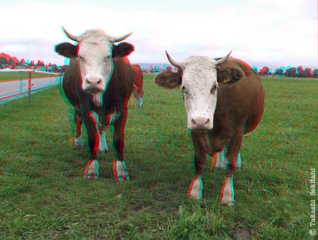 Cow_1_200909_cana