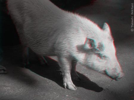 Pig01_600_gana