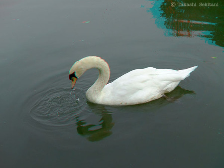Swan_cana_600