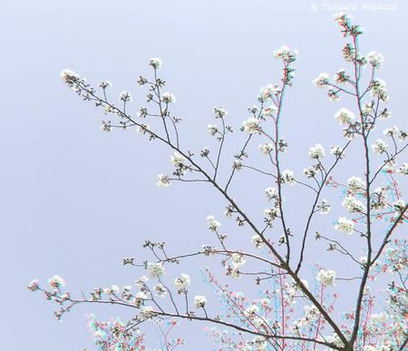Sakura_1_cana_600