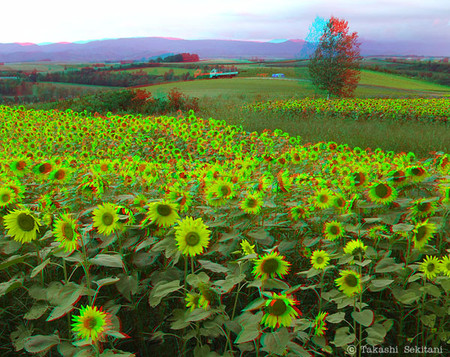 Sunflower_biei_1_201209_trim_cana_6