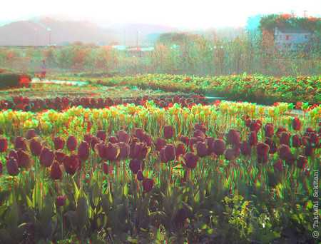 Tulip_cana_600