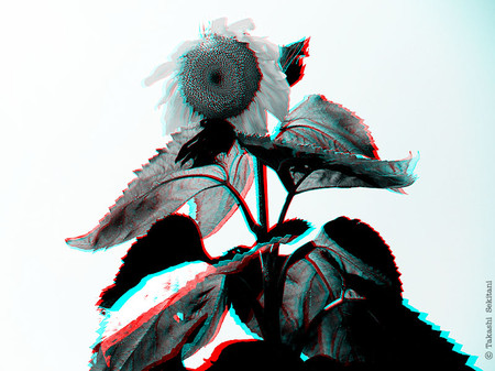 Sunflower_01_hc_gana_600