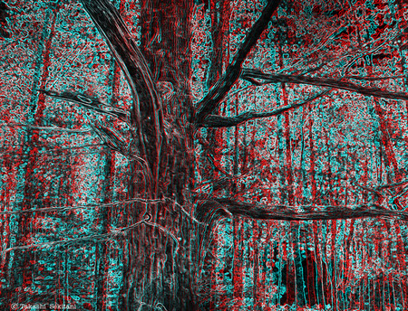 Shiretoko_tree_1_cc3_gana_800