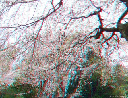 Sakura_sidare_2_cana_960_2