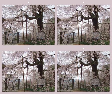 Sakura_sidare_7_sbs_960
